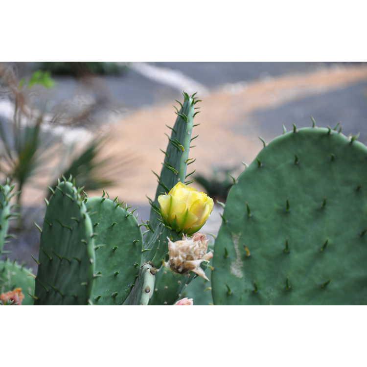 Opuntia macrorhiza - western prickly-pear