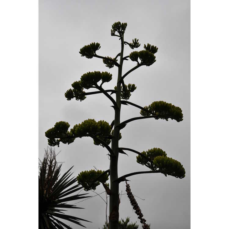 Agave parryi J.C. Raulston