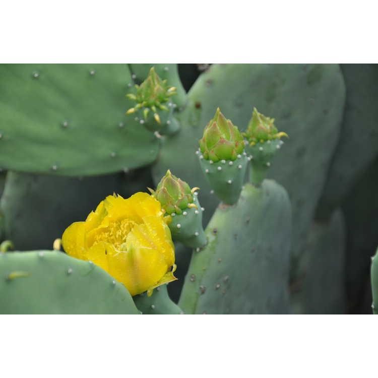 Opuntia cacanapa 'Ellisiana' - spineless prickly-pear