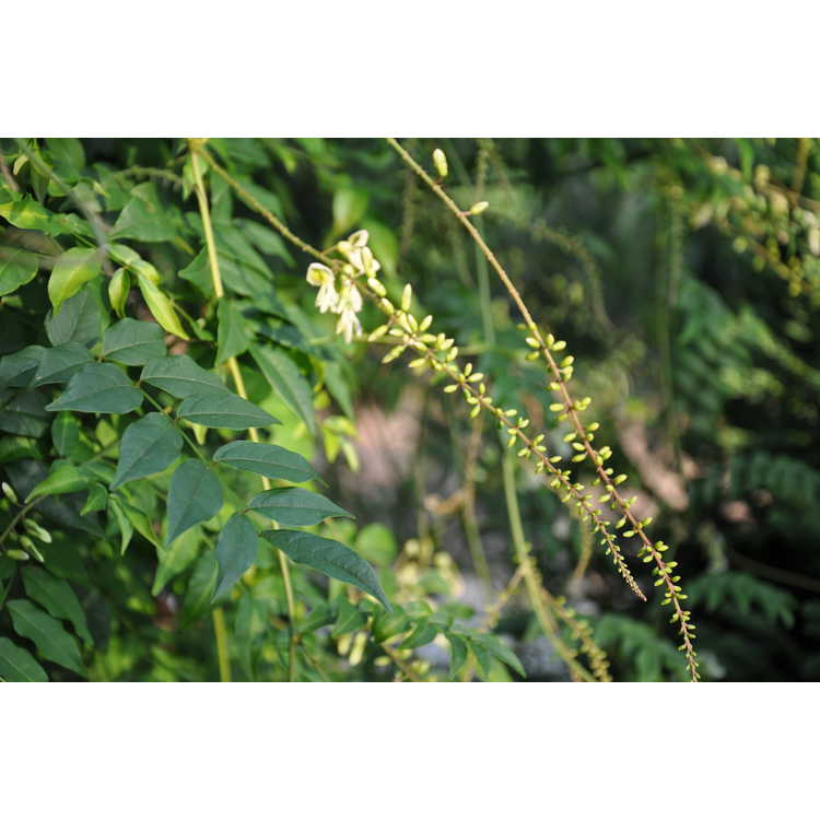 Wisteriopsis japonica 'Alba'