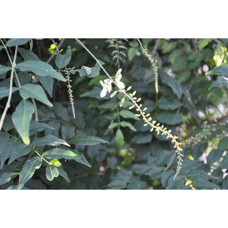Wisteriopsis japonica 'Alba' - white Japanese summer  wisteria