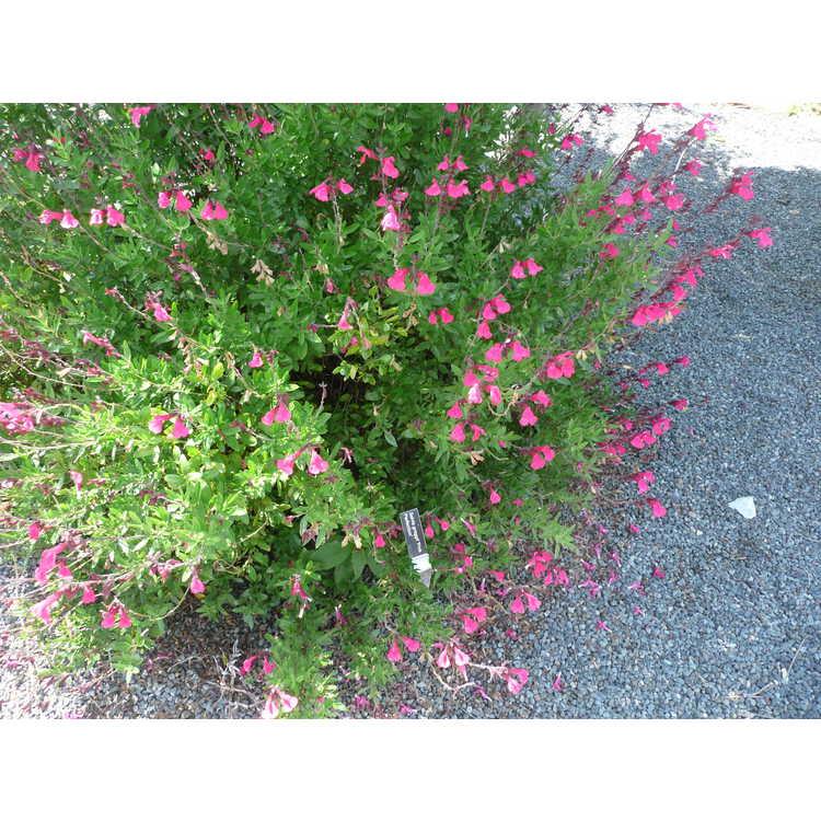 Salvia greggii Pink Perfection