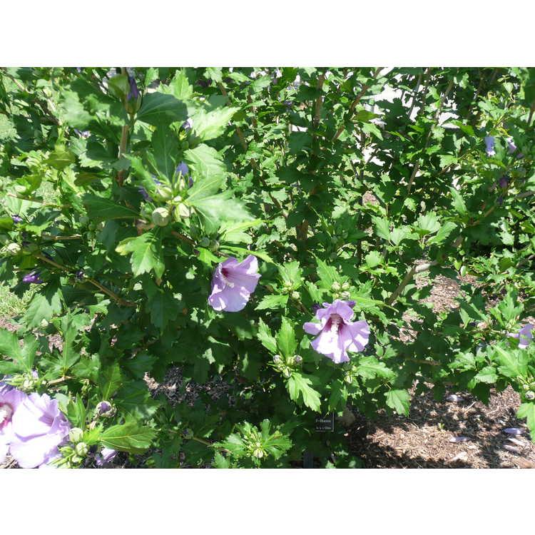 Hibiscus syriacus 'Marina'