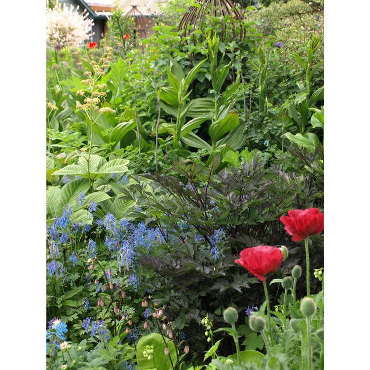 Actaea racemosa