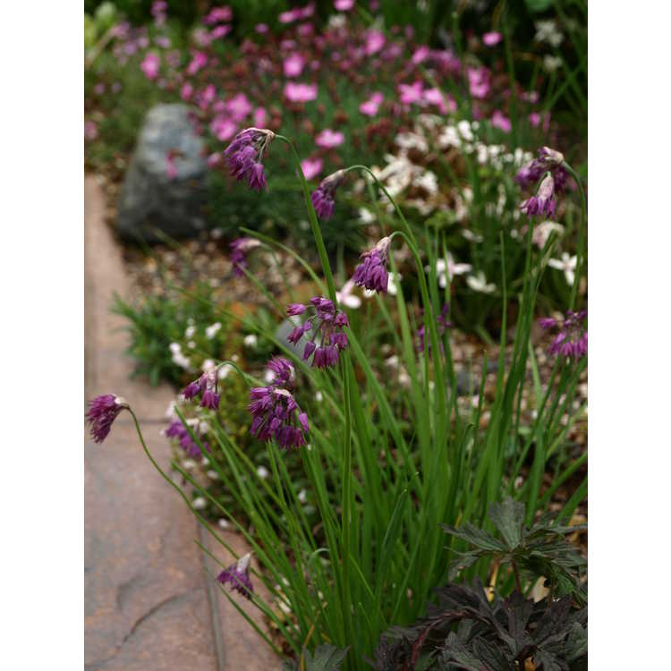 Allium cyathophorum var. farreri - ornamental allium