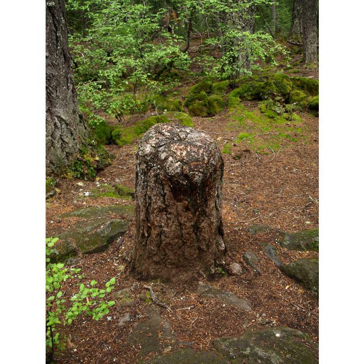 Pseudotsuga menziesii - Douglas-fir
