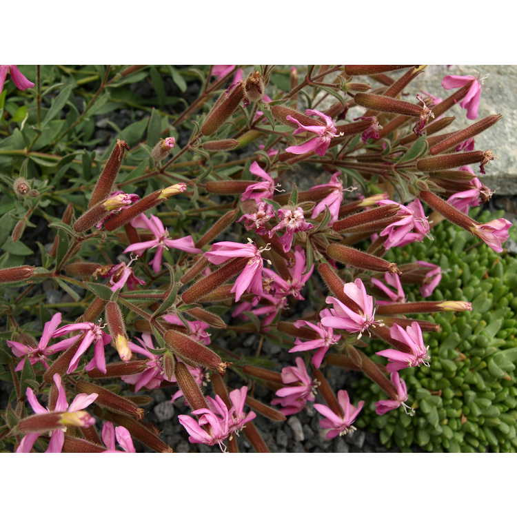 Saponaria cypria