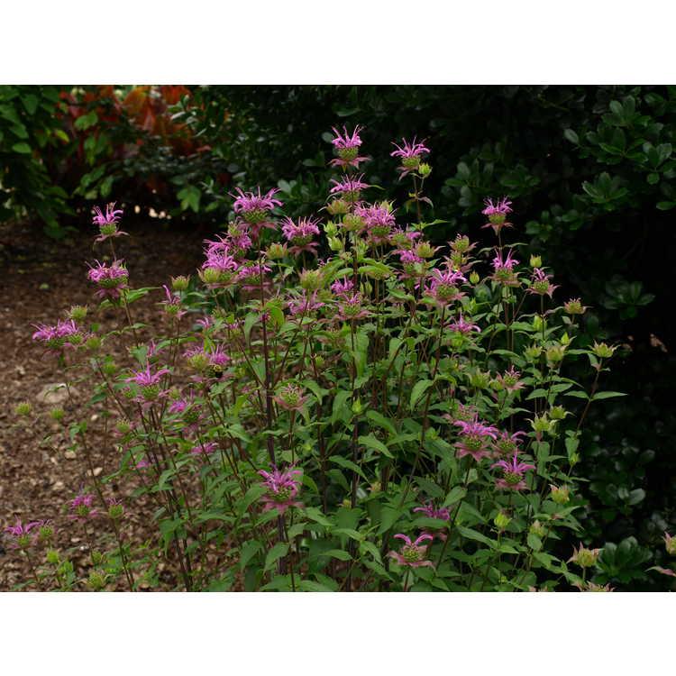 Monarda fistulosa × M. bartlettii 'Peter's Purple'