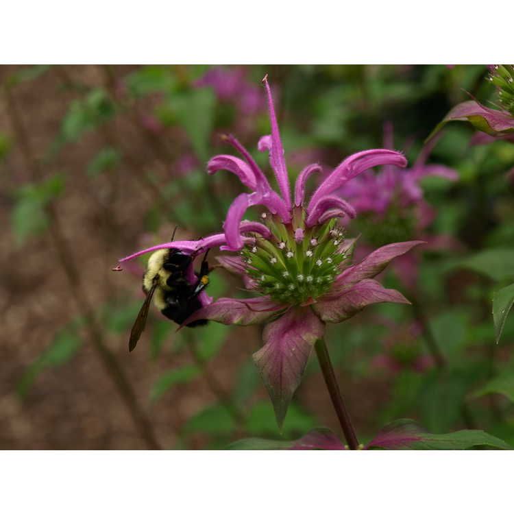 Monarda fistulosa × M. bartlettii 'Peter's Purple'