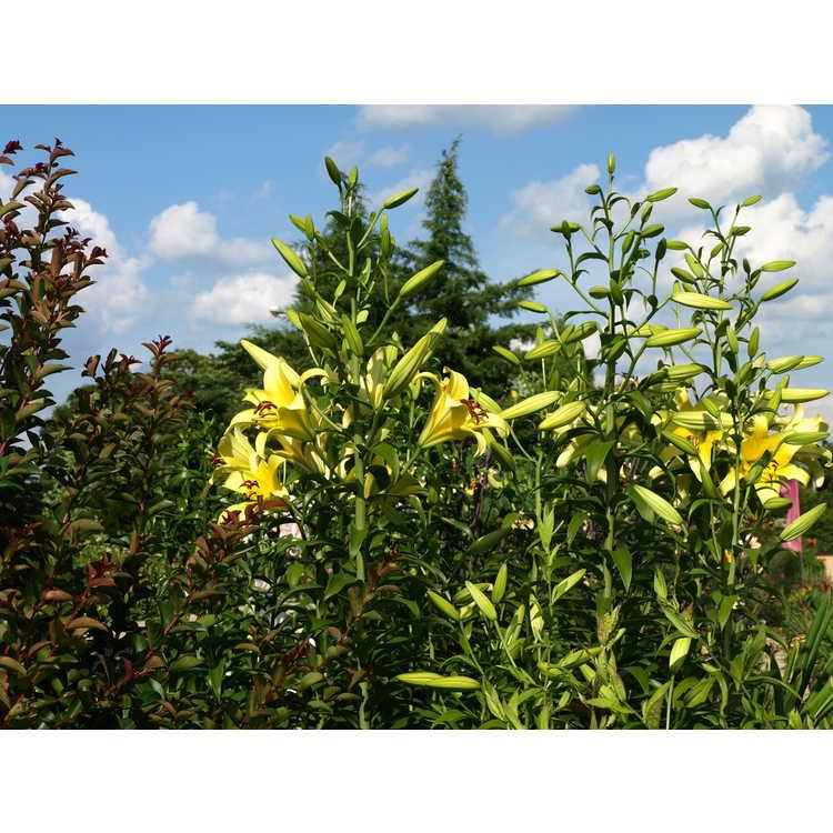 Lilium Yelloween