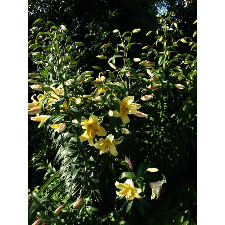 Lilium 'Orania' - Orienpet Lily