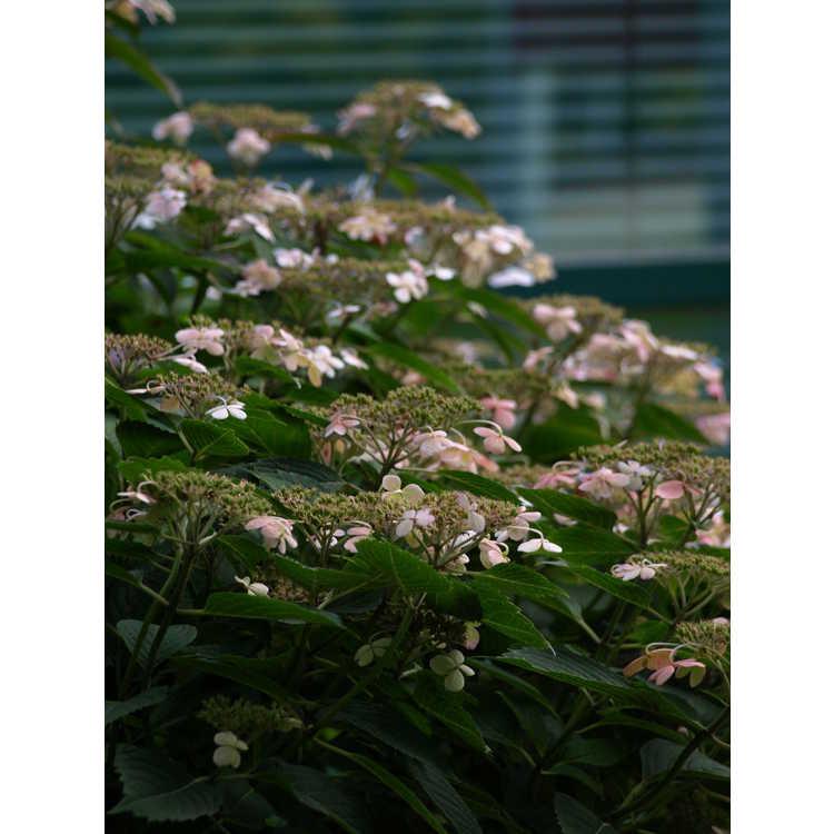 Hydrangea serrata 'Woodlanders'