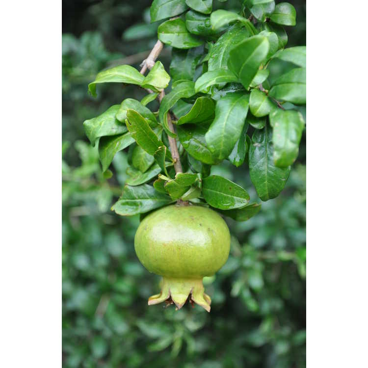 Punica granatum 'Silver Surfer' - twisted pomegranate
