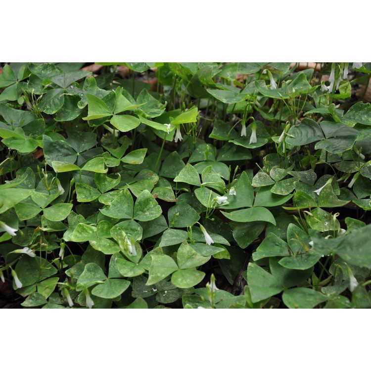 Oxalis regnellii 'Irish Mist'