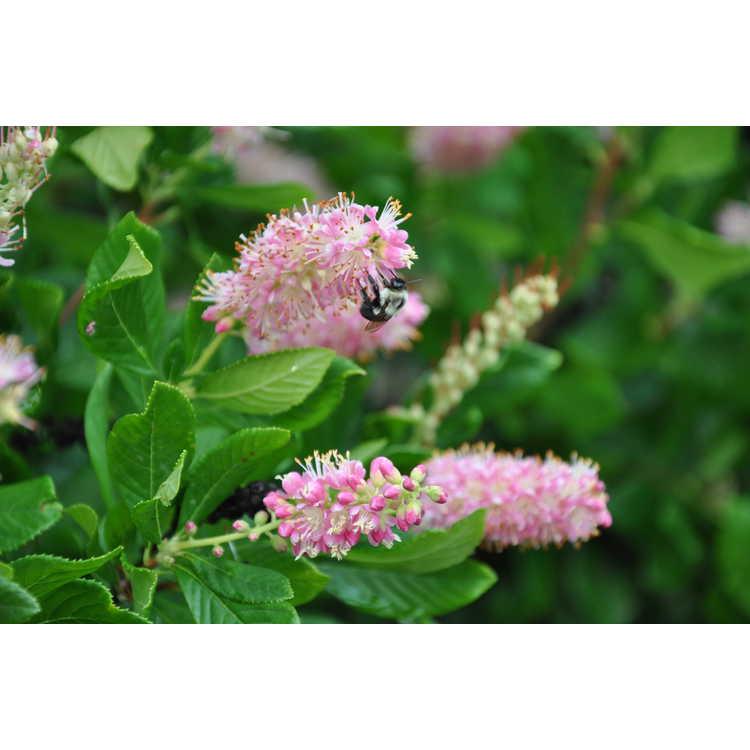 Clethra alnifolia 'Ruby Spice'