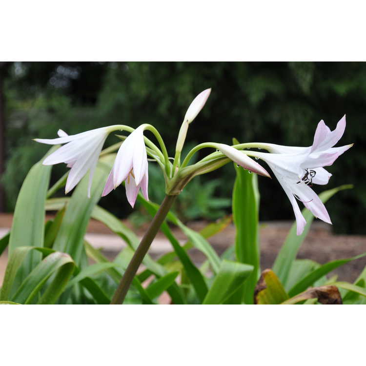 Crinum 'Mrs. James Hendry' - crinum-lily