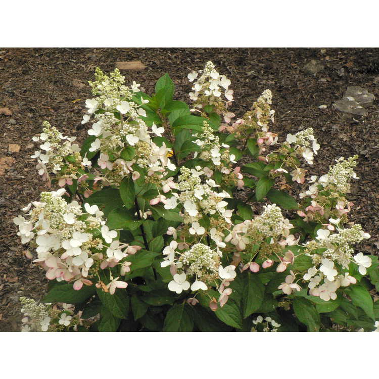 Hydrangea paniculata 'DVP Pinky'