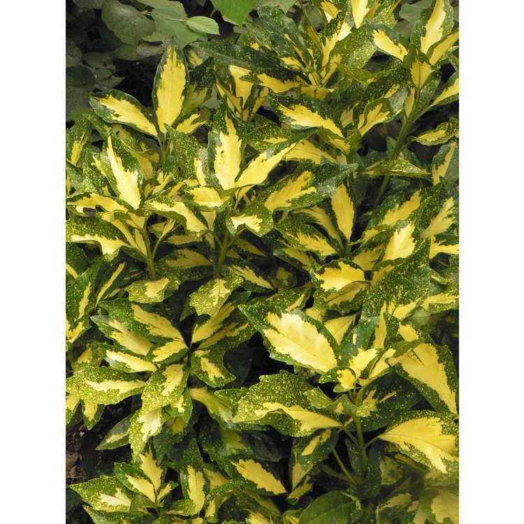 Aucuba japonica (Paul James seedling No. 6)