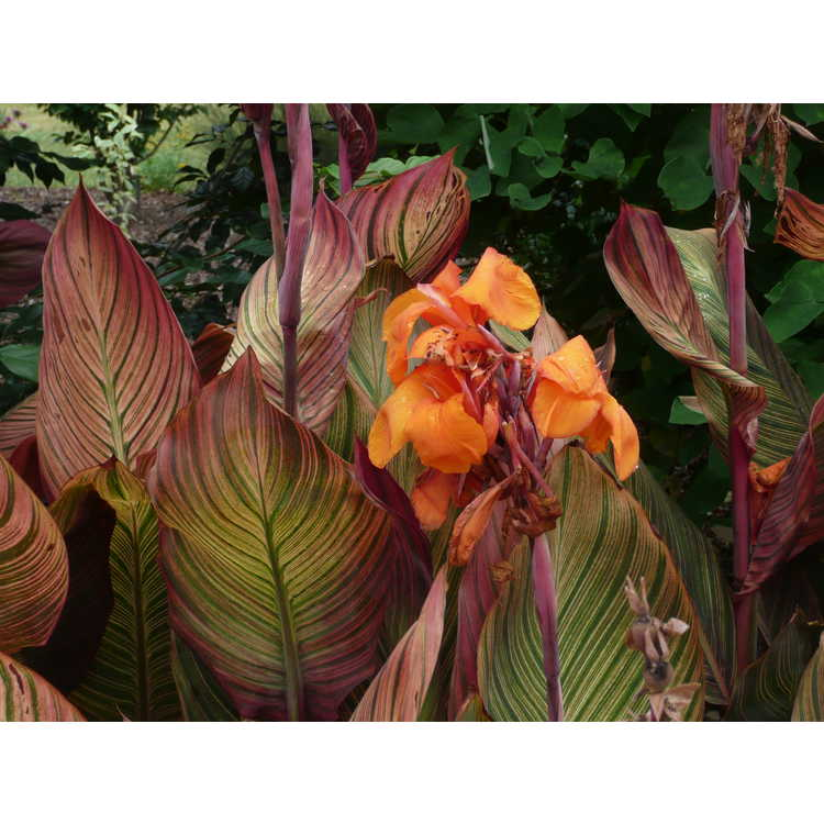 Canna 'African Sunset' - canna lily