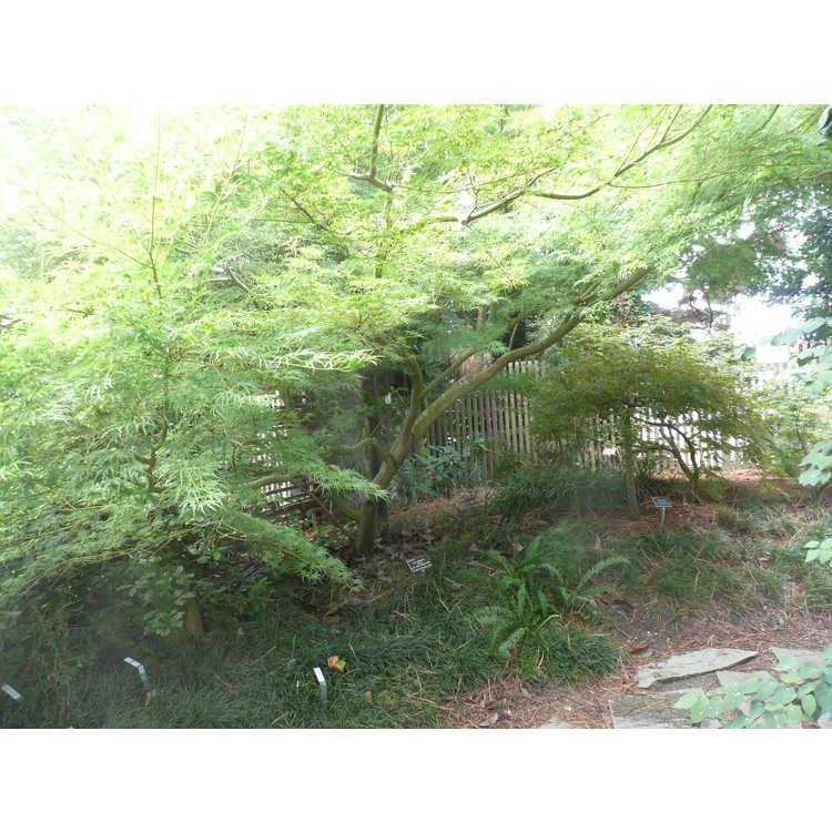 Acer palmatum 'Seiryu' - green dragon Japanese maple