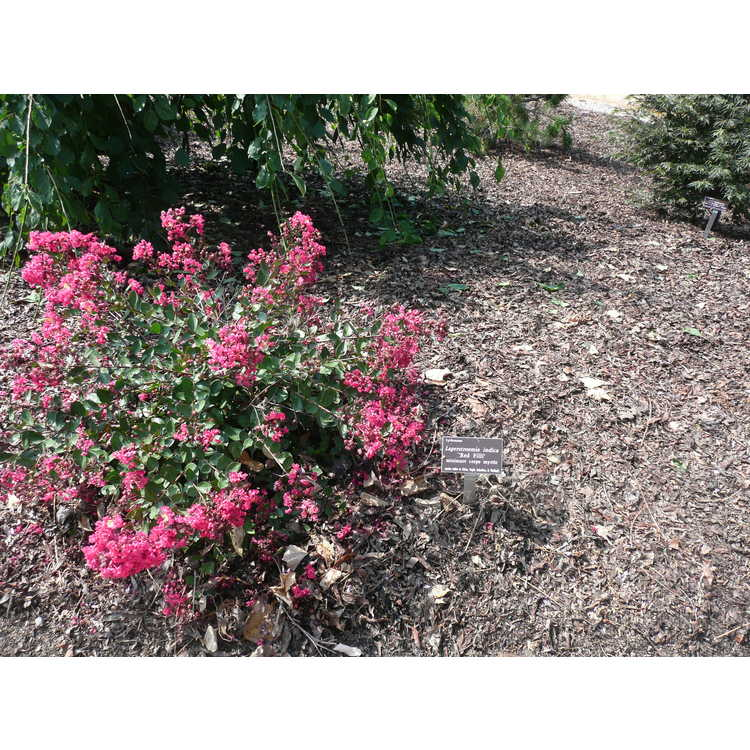Lagerstroemia indica 'Red Filli'