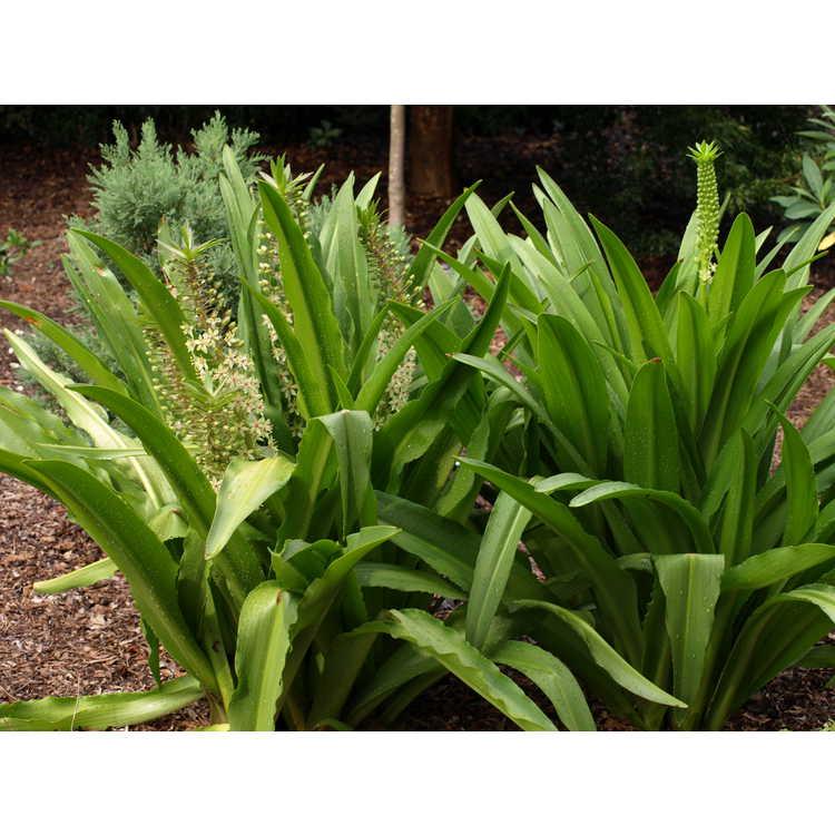 Eucomis pole-evansii - Transvaal pineapple-lily