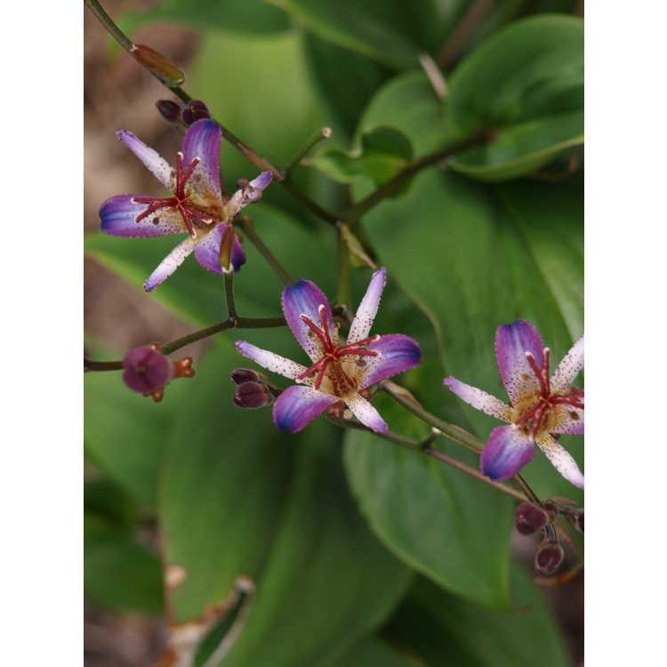 Tricyrtis lasiocarpa - amethyst toad lily
