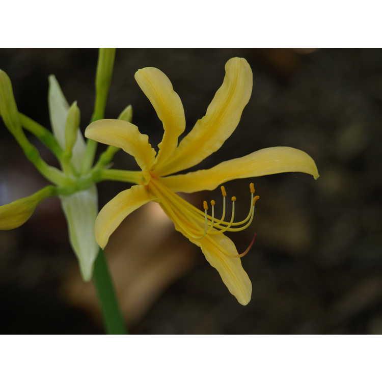 Lycoris chinensis - golden surprise-lily