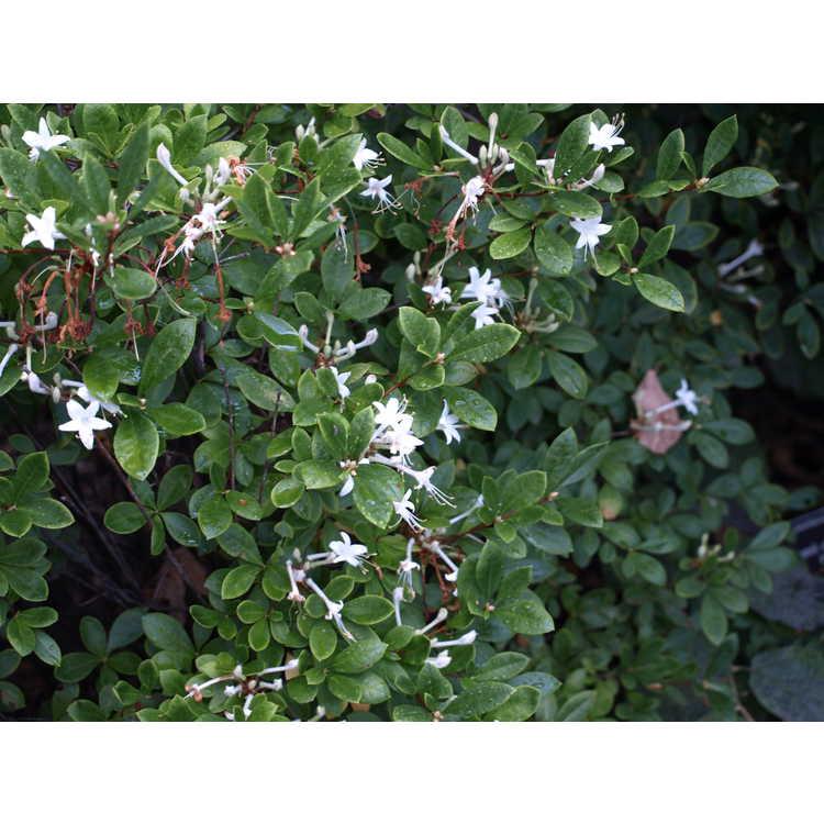 Rhododendron serrulatum - sweet azalea