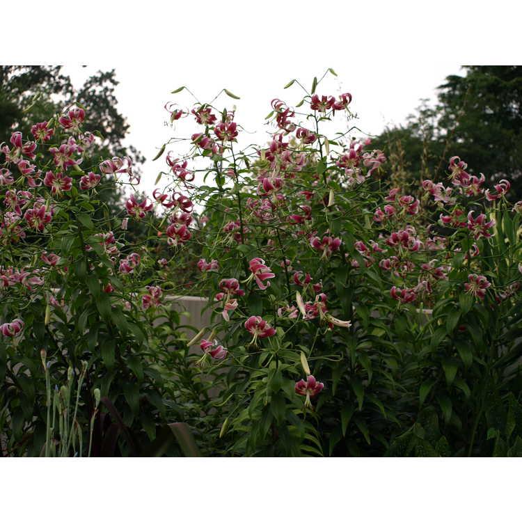 Lilium 'Black Beauty' - oriental lily