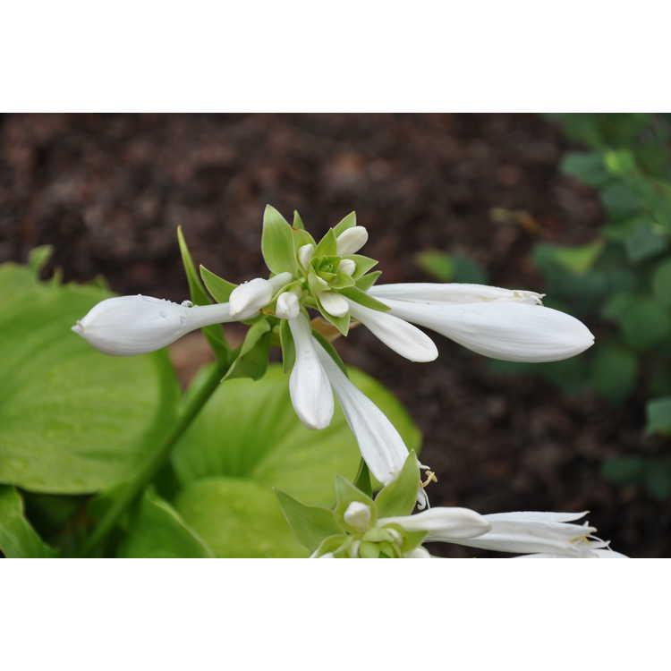 Hosta plantaginea - August lily