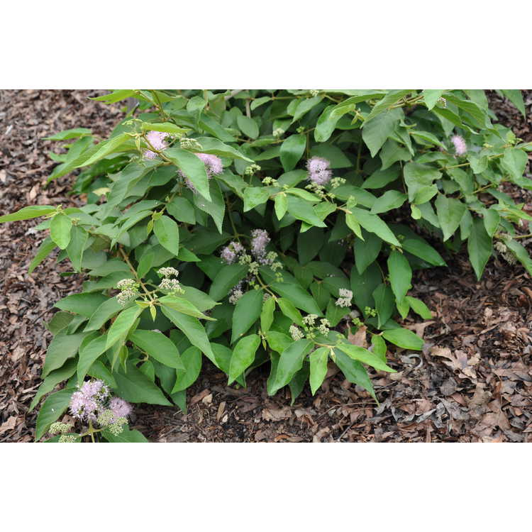 Callicarpa formosana