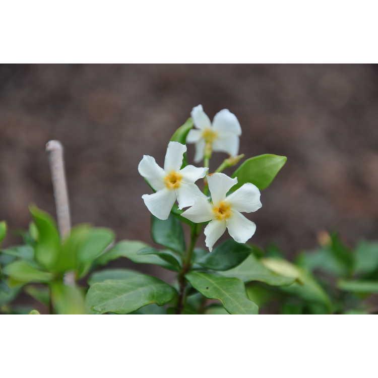 Trachelospermum jasminoides Raulston Hardy