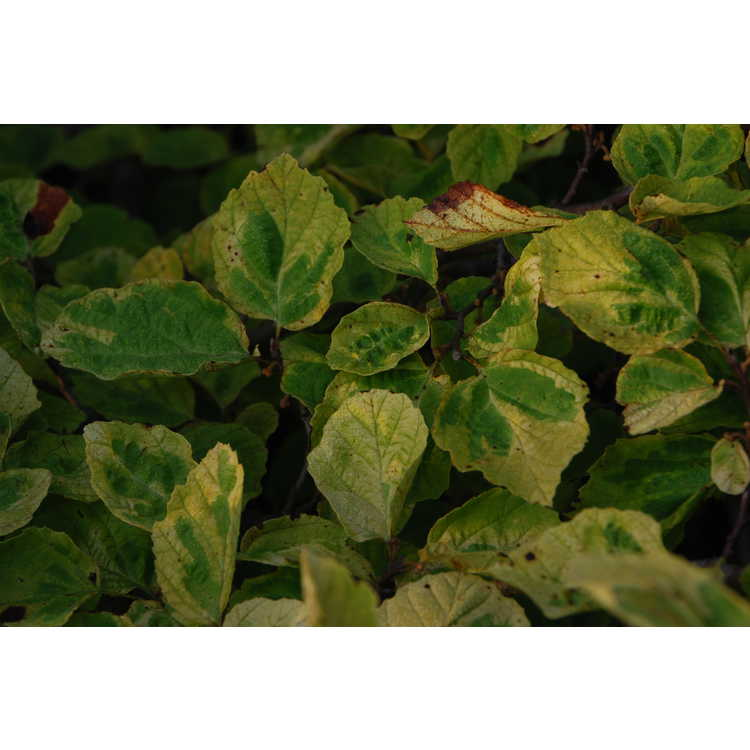 Hamamelis virginiana 'Green Thumb' - variegated American witchhazel