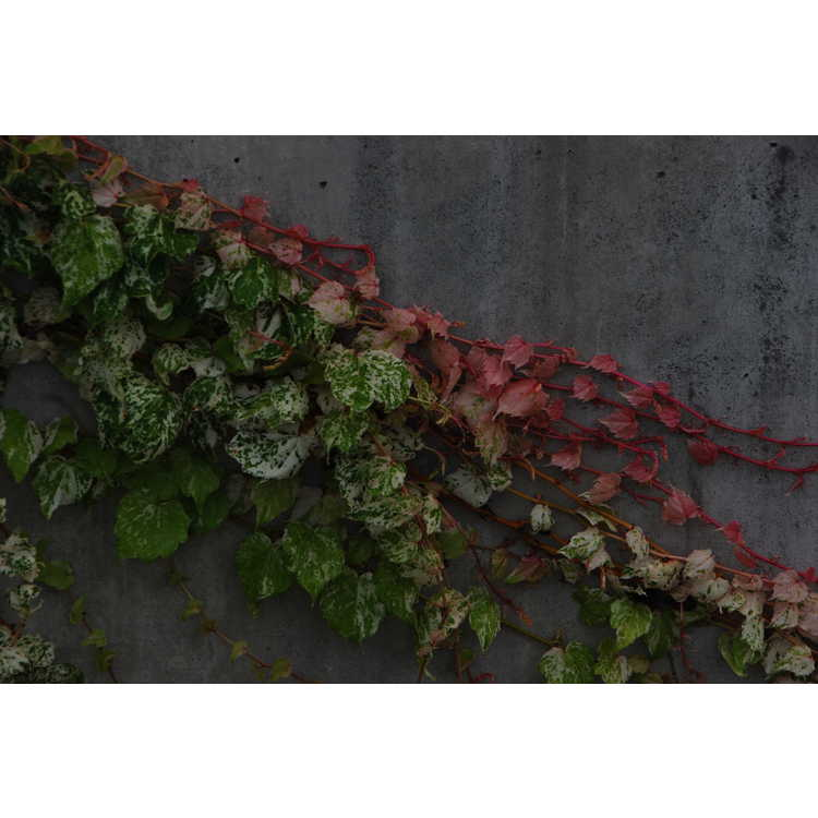Parthenocissus tricuspidata 'Ginza Light'
