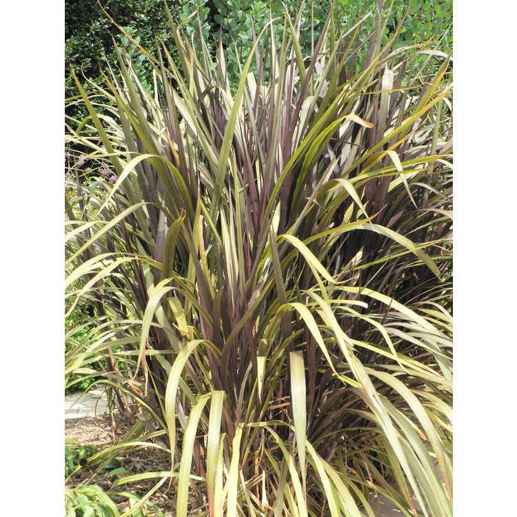 Pennisetum purpureum 'Prince'