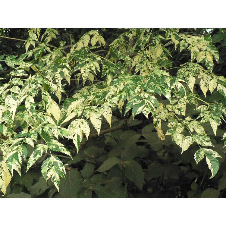 Melia azedarach 'Jade Snowflake' - variegated Chinaberry