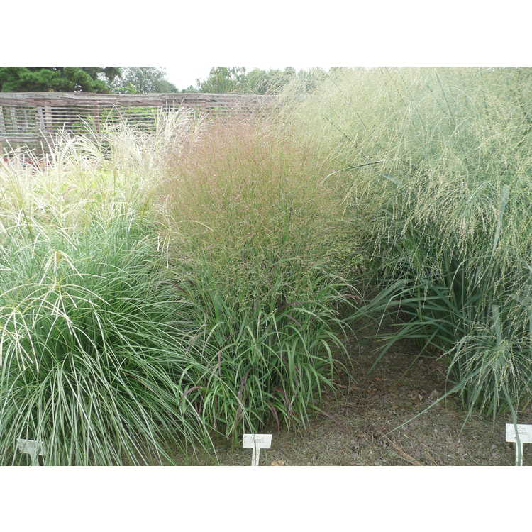 Panicum virgatum 'Shenandoah' - common switch grass