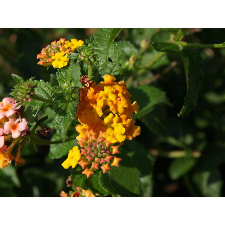 Lantana camara ('Ham and Eggs' orange sport) - lantana