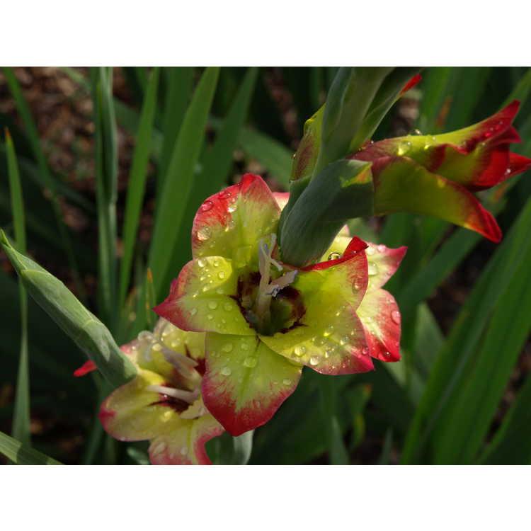Gladiolus Flevo Kosmic