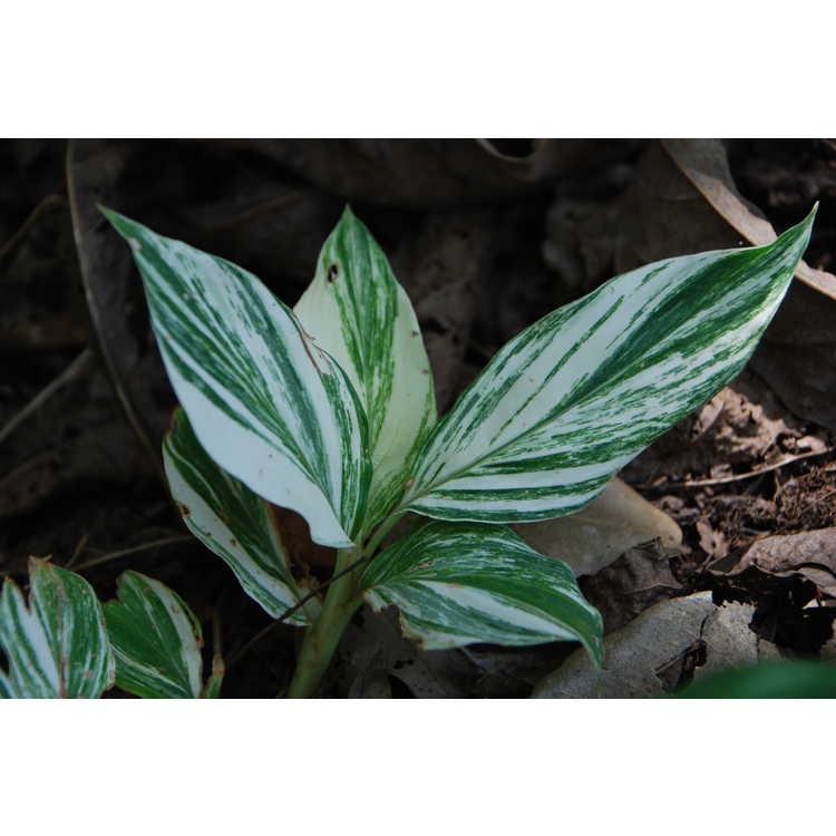 Alpinia japonica 'Extra Spicy'