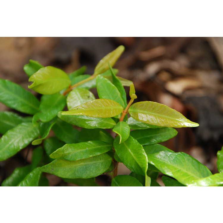 Trachelospermum asiaticum 'Ogon Chirimen'