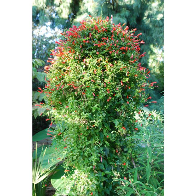Manettia cordifolia 'John Elsley' - firecracker vine