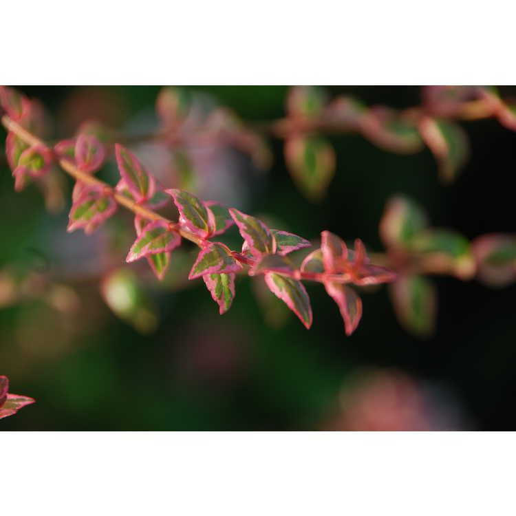 Abelia ×grandiflora 'Mardi Gras' - variegated glossy abelia