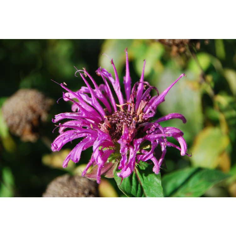 Monarda fistulosa M. bartlettii Peters Purple