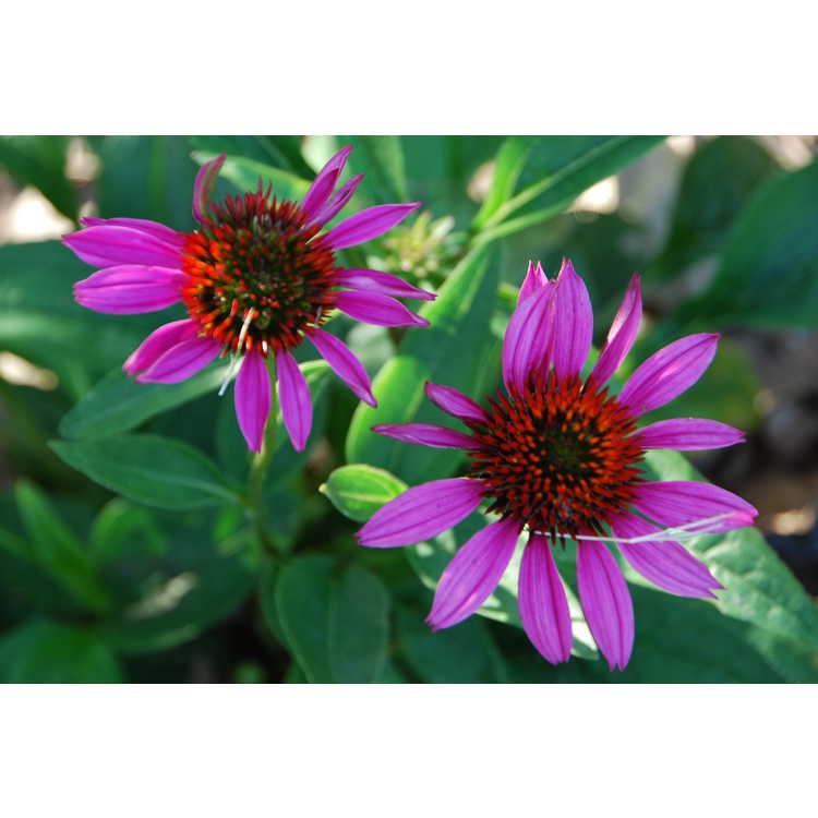 Echinacea 'Conekim'