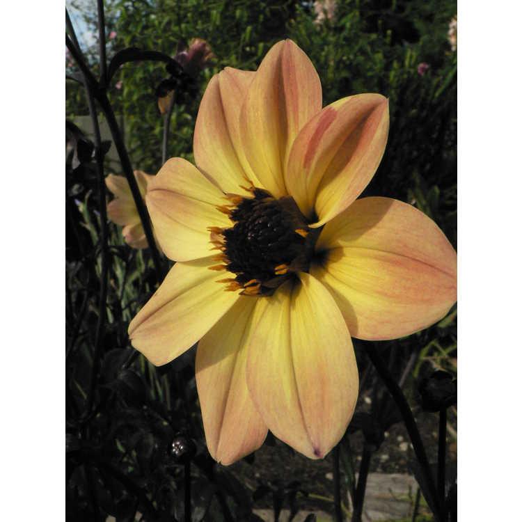 Dahlia 'Knockout' - Mystic Illusion garden dahlia