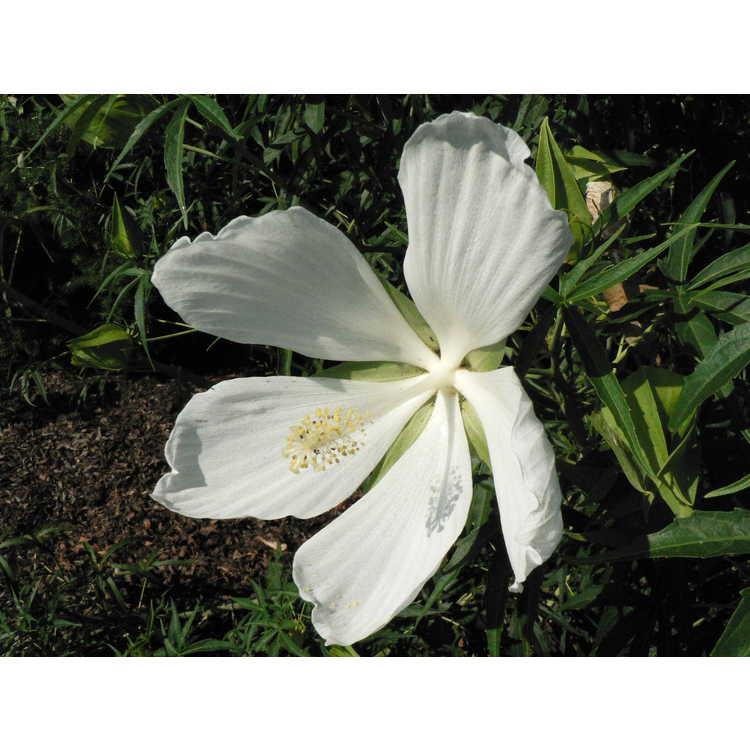 Hibiscus coccineus albus