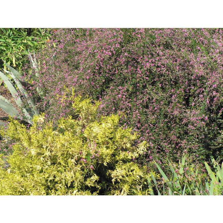 Lespedeza thunbergii Spring Grove