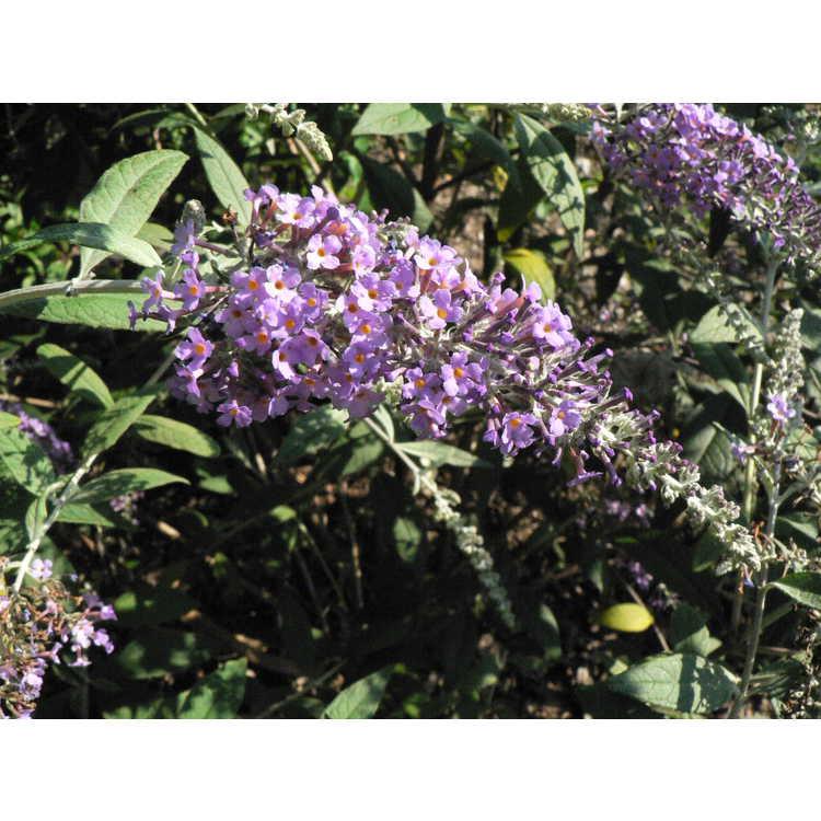 Buddleja 'Summer Frost' - butterfly-bush